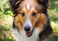 Purebred Shetland dog (Apollo51x) Tags: shetland sheep dog animal breed purebred pedigree mammal pet