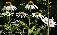Flowers of Summer 6 (photoeclectia1) Tags: flowers daisies daisy summer