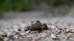 Springfrosch (Aah-Yeah) Tags: springfrosch rana dalmatina froschlurche frosch achental chiemgau bayern