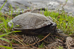 River Cooter (ninjabirder) Tags: may2018 herps reptiles turtles rivercooter