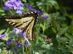 Western Tiger Swallowtail (timber1212) Tags: shinhouse fremont california swallowtail