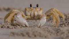 Ghost Crab (Kevin Fox D500) Tags: ghost ghostcrab sand beach ocean sigma150600sport sigma stoneharbor stoneharborpoint nature nikond500 nikon newjersey