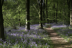 Bluebells (grahamhutton) Tags: bluebells micheldeverwoods forestrycommission sonyemount spring hampshire woods woodlands