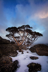 An Aussie Gum (Tim Donnelly (TimboDon)) Tags: kosciuszko snowgum gum snow nationalpark nsw visitnsw