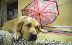Goldie in sad mood. (vipre_pt) Tags: goldie dog pet sad