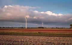 Herbstzeit - Erikenzeit (moni-h) Tags: erikenfelder kevelaer lüllingen nrw niederrhein nordrheinwestfalen olympusm12100mmf40pro olympusomdem1markii september2018 wolken callunen heidepflanzen herbst