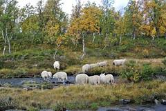over elva (KvikneFoto) Tags: sau sheep høst autumn fall landskap nikon1j2