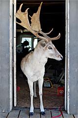 """Lexx"", Job site supervisor, Newcastle, Texas (Small Creatures) Tags: deer fallow fallowdeer buck d40 nikond40 nikon newcastle texas youngcounty livestock antlers"