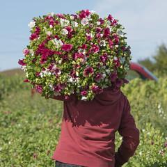Des dizaines de bouquets *-* (Titole) Tags: malopes many bouquets harvest pink titole nicolefaton squareformat fields flowers storybookwinner