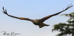 Wildlife at Warwick Castle, England (rvk82) Tags: 2018 birds england june june2018 nikkor200500mm nikon nikond850 rvk rvkphotography raghukumar raghukumarphotography warwick warwickcastle wildlife rvkonlinecom rvkphotographycom rvkphotographynet unitedkingdom gb