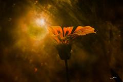 Sonnensturm - Storm sun (wb.fotografie) Tags: blumen blume sonnenblume sonne sonnensturm sun stormsun flower