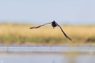 ''Entre moi et le vent!'' Pluvier argenté-Black-bellied Plover
