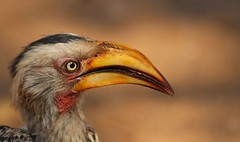 Southern Yellow-billed Hornbill (Hannah 0013) Tags: yellowbilledhornbill canon nature wildlife bird 300mm wildafrica coth5 galayhall galaxystarshall ngc galaxyl2hall contact7 npc natureinfocusgroup