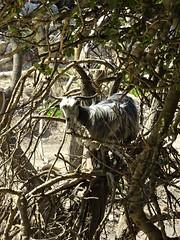They can even climb trees! (Ia Löfquist) Tags: crete kreta hike hiking walk walking vandra vandring animal djur wander wanderer goat get