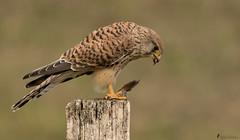 Falkendame beim Abendbrot (normen.nikon) Tags: d500 nikon 200500 feisol sirui natur greifvogel bird vofel wildlife vogel