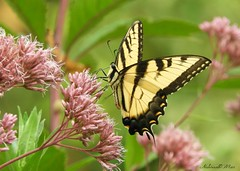 """""""Nature is painting for us, day after day, pictures of infinite beauty if only we have the eyes to see them.""""  John Ruskin (NaturewithMar) Tags: swallowtail butterfly male milkweed plant summer 2018 park wisconsin nikoncoolpix b700"""