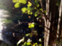 fly vs spider on the web (Ola 竜) Tags: spider spiderweb net fly insect animal portrait macro insects light bokeh dof s7 tree green leaves sunlight park magical forest wildlife fauna flora branches cobweb catch flare web