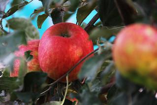 Gavin's Apple Tree Ready for Harvest