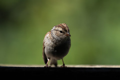 Chipping Sparrow-42301.jpg (Mully410 * Images) Tags: bird birdwatching birding chippingsparrow backyard birds birder sparrow
