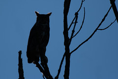 Great Horned Owl Silhouette (daverazzi) Tags: owl buckscounty great horned silhouette