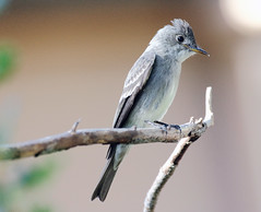Olive-sided Flycatcher (Contopus cooperi); Santa Fe National Forest, NM, Thompson Ridge [Lou Feltz] (deserttoad) Tags: wildlife nature newmexico mountain nationalforest desert bird wildbird flycatcher behavior