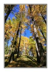 autumn (ANTOINE ARROBAS) Tags: automne autumn larch trees