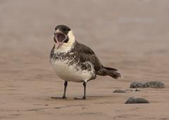 Pomarine Skua - Stercorarius pomarinus (Gary Faulkner's wildlife photography) Tags: pomarine skua stercorarius pomarinus