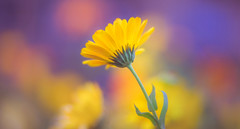 Vibrant (Dhina A) Tags: sony a7rii ilce7rm2 a7r2 a7r carl zeiss jena kipronar 70mm f14 flower bokeh marigold kipronar70mmf14 vintage cine 16mm projection projector lens petzval modified artistic 2groups 4elements smooth