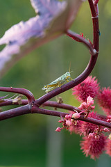 Perched (Man in Hat Photography) Tags: outdoors outside nature insect grasshopper macro micro d750 utah