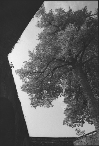 Tree inside Olavinlinna
