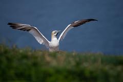 Spread your wings (Khurram Khan...) Tags: northerngannet seaandshorebirds atlanticocean iamnikon ilovenature ilovewildlife khurramkhan wwwkhurramkhanphotocom nikonnofilter birds birdphotography