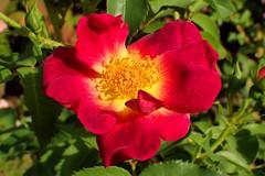 September Rose (libra1054) Tags: rosen rosas roses red rosso rojo vermelho vermell rouge rot flowers fiori blumen flores fleurs flora macro closeup nature natura outdoor