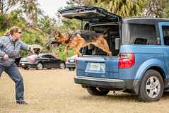 Quick exit (Laughing Dogs) Tags: dog vehiclework protectiontraining training gsd germanshepherd