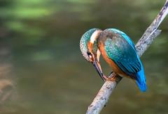 KINGFISHER3 - River Nene-13 (lindasummerfield2) Tags: kingfisher bird river nene water fish angling nature canon 80d tamron 150600