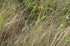 Adonis Blue and Common Blue Butterfly (Derek Morgan Photos) Tags: dorset oldnicksground studland commonbluebutterfly butterfly commonblue adonisbluebutterfly adonisblue