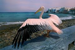 Taking Off (lfeng1014) Tags: petros rocks littlevenice bird pelican takingoff aegeansea beach ocean wings cyclades mykonos greekisland greece themascotofmykonos canon5dmarkiii ef2470mmf28liiusm travel lifeng water sea