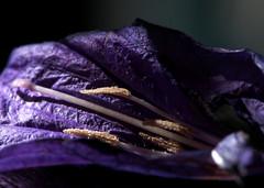 Ruellia (skloi) Tags: flower blume blüte pollen makro purple blue