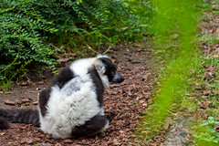 Lémur catta (antoine_blin) Tags: animal arbres beauval colors couleurs d7200 feuilles green leaf nikon tamron70300mmf456divc trees vert zoo