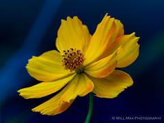 F2190425 (Will.Mak) Tags: flower botanical queens newyorkcity newyork nyc blossom closeup queensbotanicalgarden olympus em1markii m40150mm f28 olympusem1markii olympusm40150mmf28