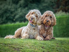 My Favourite (Chris Willis 10) Tags: amber cockerpoo digby waltonhall dog pets animal purebreddog canine cute poodle puppy grass outdoors mammal looking friendship domesticanimals fur sitting standardpoodle nature brown small