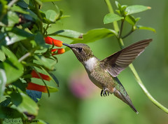 Ruby-throated Hummingbird (Estrada77) Tags: rubythroatedhummingbird hummingbirds birds birding wildlife outdoors nikond500200500mm nikon inflight mchenrycounty