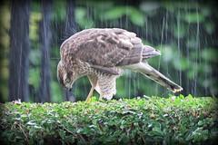 Sparrowhawk in the heavy rain (Deida 1) Tags: bird raptor sparrowhawk rain garden uk staffordshire accipiternisus wildlife