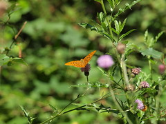 Butterfly wings (filippo rome) Tags: switzerland swiss ticino tessin faido nature natura colors colori butterfly farfalla flowers flower fiori fiore alpes alpi alps
