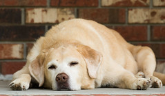 The Dog Days of Summer (swmartz) Tags: nikon nature newjersey outdoors dogs labradorretriever yellow yellowlabs mercercounty august 2018 200500mm d610