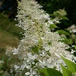 Au jardin, Hydrangea paniculata , Bosdarros, Béarn, Pyrénées Atlantiques, Nouvelle-Aquitaine, France. thumbnail
