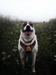Fermilab (patkelley3) Tags: dog bulldog pitbull morning mist