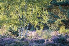 Stoke Common (tobchasinglight) Tags: beechtrees buckinghamshire burnhambeeches chilterns cityoflondon corporationoflondon englishwoodland farnhamcommon landscape landscapeporfolio silverbirch stokecommon stokepoges summer trees uk woodland ©paulmitchell