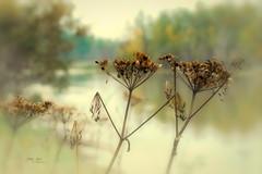 Can it be fall already? (L E Dye) Tags: cowparsnip elkislandpark 2018 alberta canada d750 ledye nikon summer rural seeds