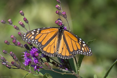 Butterfly 2018-76 (michaelramsdell1967) Tags: butterfly butterflies monarch monarchs nature macro animal animals insect insects green orange beauty beautiful pretty lovely upclose closeup vivid vibrant detail delicate flower meadow field wing wings wildlife bugs bug zen