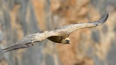 vautour fauve (frederic.laroche6) Tags: vautour verdon provence animalier oiseau ornitho nikon d500